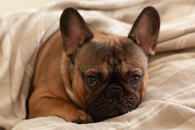 睡在床上的毯子下,从昏昏欲睡的法式斗牛犬中传出 免版税库存图片