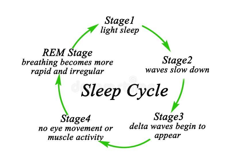 睡眠周期阶段  皇族释放例证