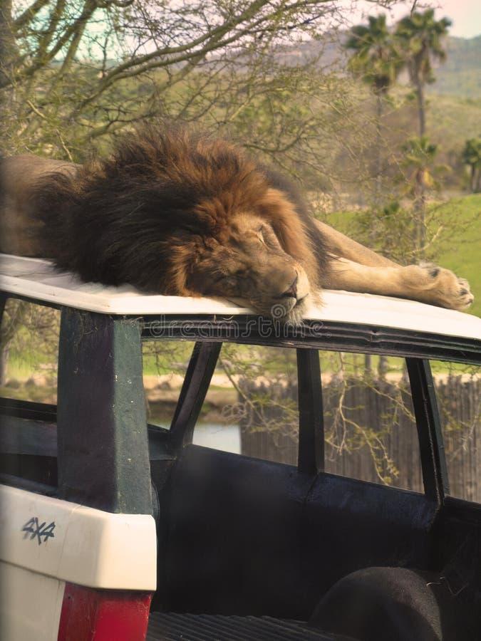 睡着的狮子 免版税库存照片