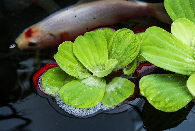 睡莲叶和Koi鱼 库存照片