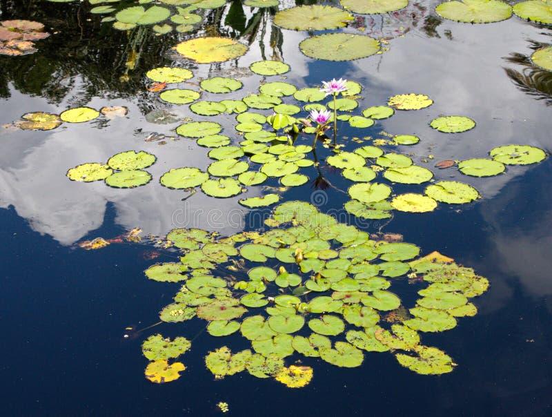睡莲叶广告在池塘开花漂浮 免版税库存照片