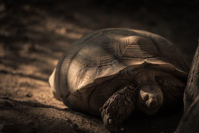 睡觉乌龟在与曲奇饼光的树下 免版税库存图片