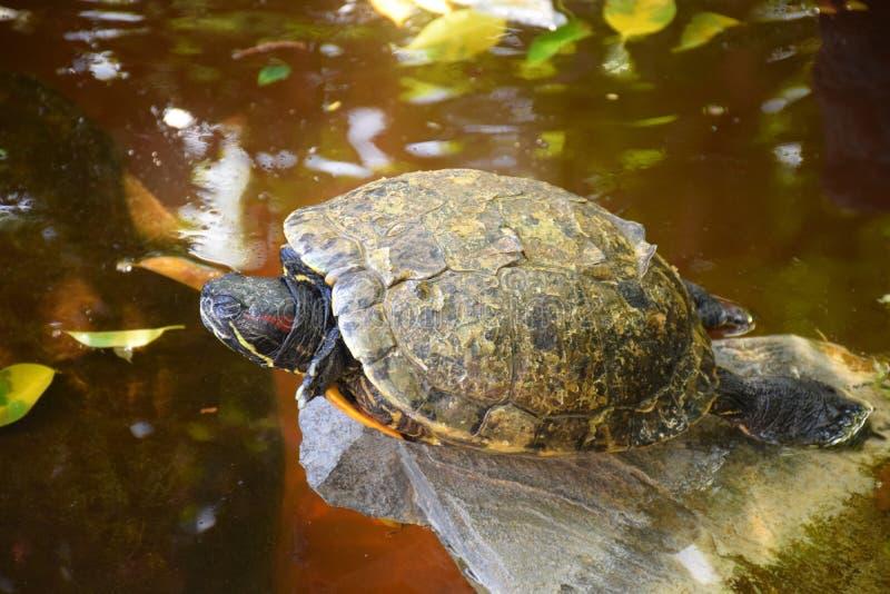 睡觉乌龟在水中 库存照片