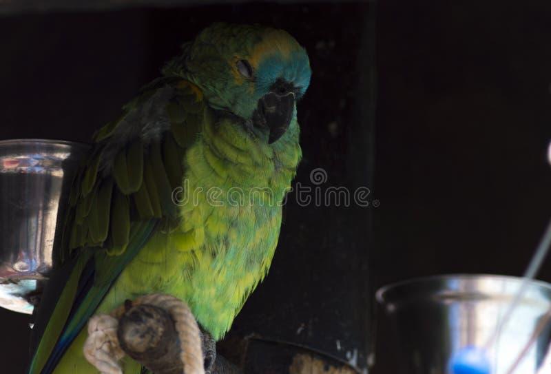 睡觉五颜六色的鹦鹉放松和 免版税库存图片
