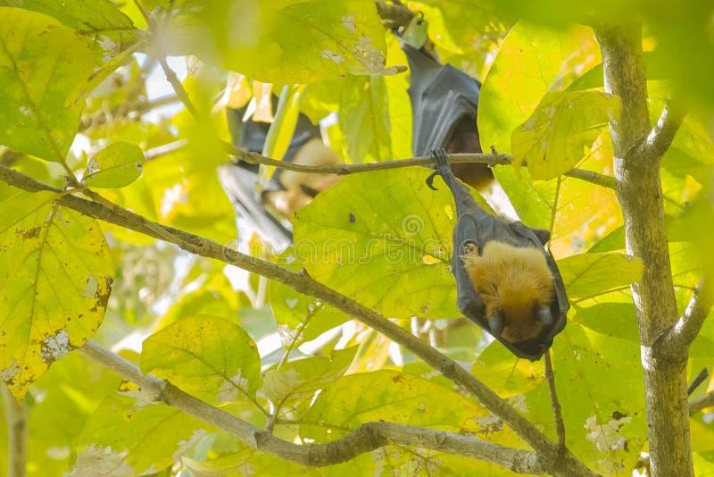 睡觉印度果蝠或巨型果实蝙蝠 免版税库存图片