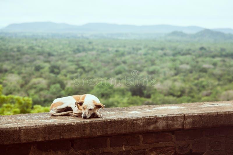 睡觉反对热带森林风景的流浪狗在斯里兰卡 免版税库存图片