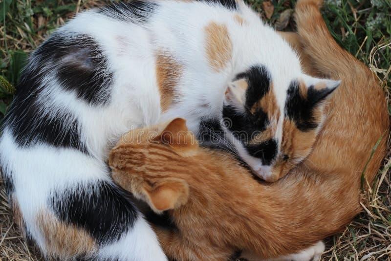 睡觉和拥抱与她的小猫的猫 免版税库存图片