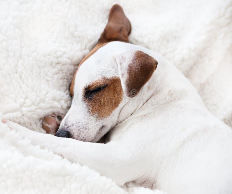 睡觉在一条软的毯子的狗 图库摄影