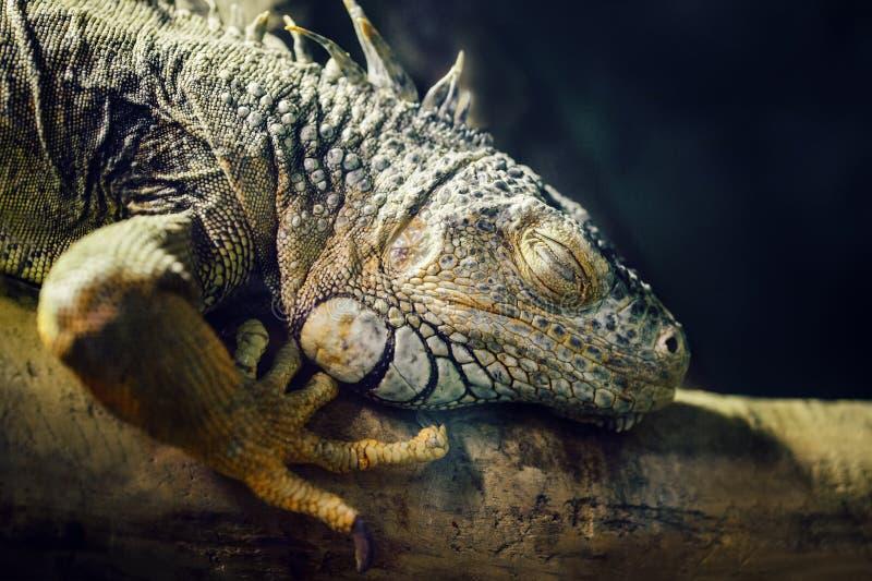 睡觉在一棵树的绿色美国共同的鬣鳞蜥特写镜头画象在动物园里 免版税图库摄影