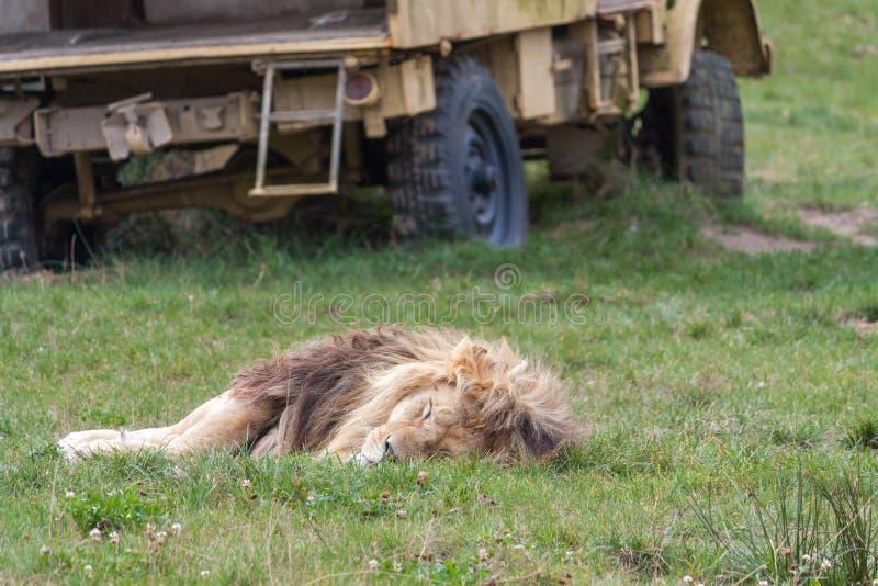 睡觉在一辆黄色汽车前面的草的狮子 免版税库存照片