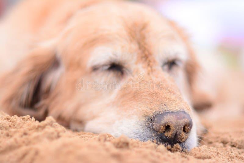 睡觉在与在沙子盖的鼻子的海滩的狗 库存图片