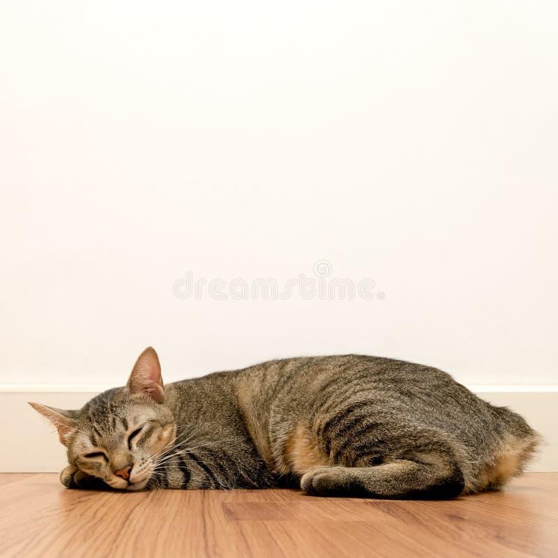 睡觉在与白色空白墙壁的木地板上的猫 可爱的猫休息关闭眼睛在家 免版税库存照片