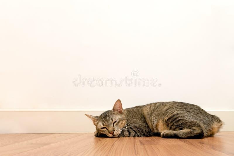 睡觉在与白色空白墙壁的木地板上的猫 可爱的猫休息关闭眼睛在家 免版税图库摄影