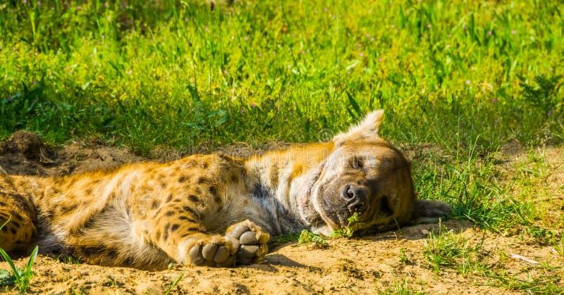 睡觉在从非洲的沙漠的地面,豺狗的一只斑点狗的特写镜头画象 库存图片