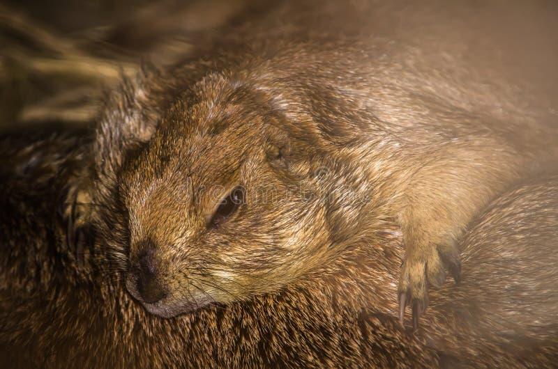 睡觉在农场的逗人喜爱的棕色草原土拨鼠美丽的画象  图库摄影