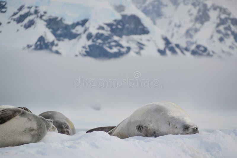 睡觉在冰山的封印 免版税库存图片