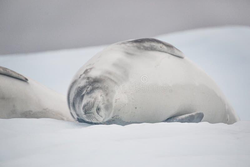 睡觉在冰山的海狮幼崽 免版税图库摄影