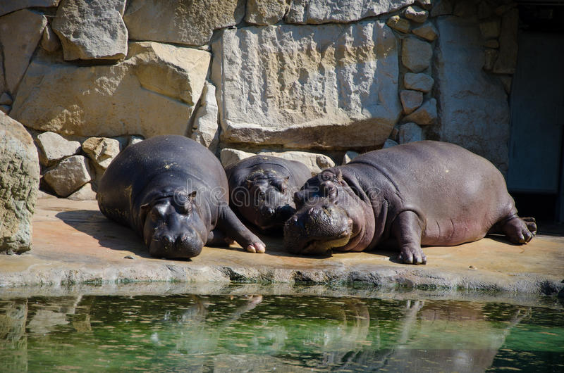 睡觉在动物园里的河马 库存图片