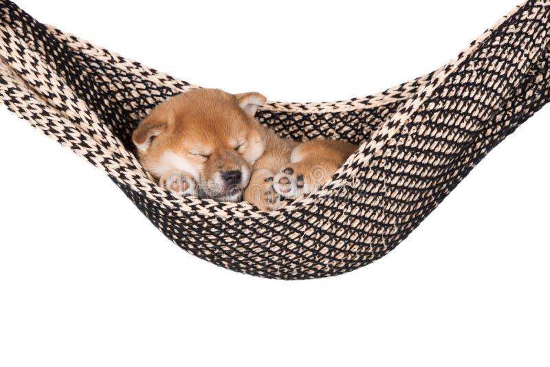 什巴睡觉在吊床的inu小狗 库存图片