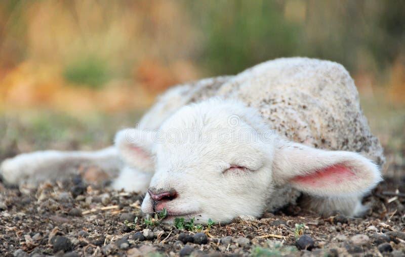 睡觉在国家农场的领域的逗人喜爱的新出生的小羊羔 库存照片