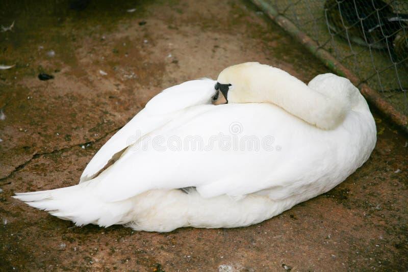 睡觉在地板上的天鹅 免版税库存图片