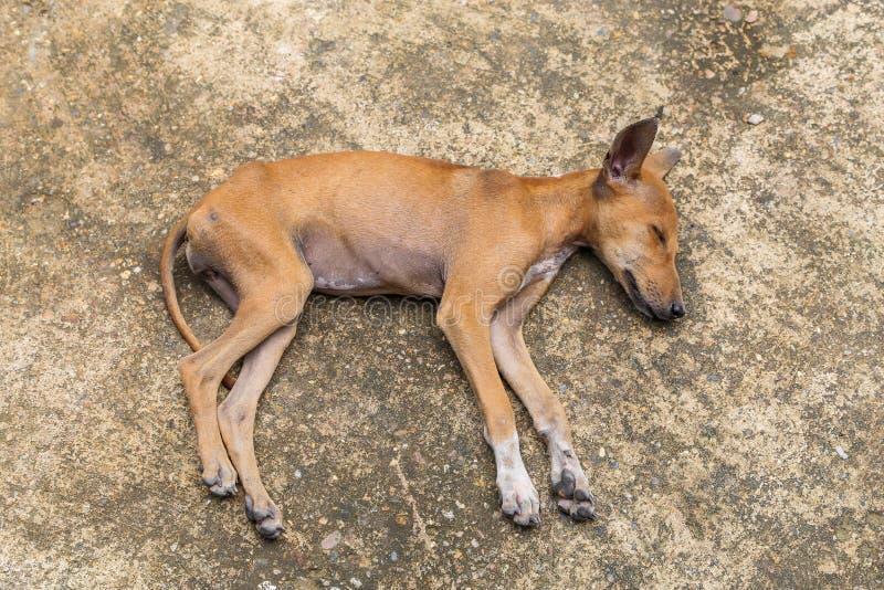 睡觉在地板上的小狗 免版税库存照片
