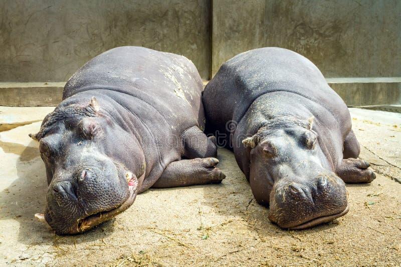 睡觉在地面上的两匹河马 两紧挨着睡觉的河马 库存图片