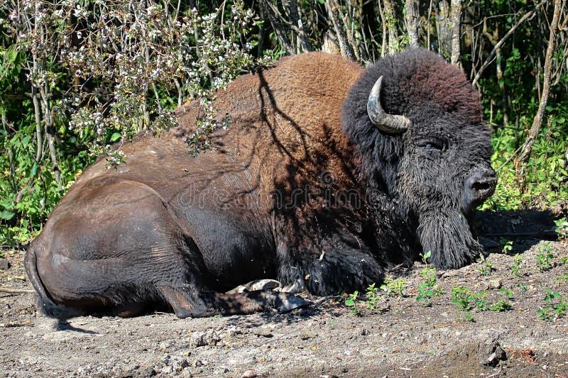 睡觉在地面上的平原北美野牛在夏天 库存图片