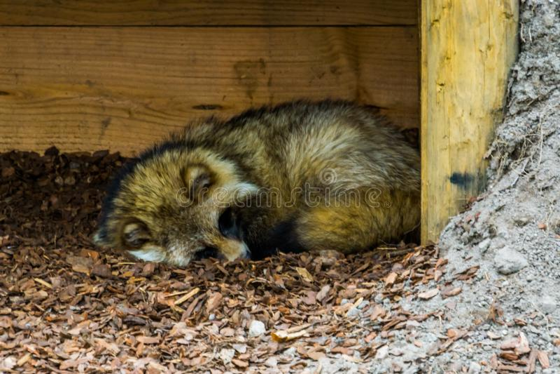 睡觉在地面,共同的动物的狸在欧亚大陆 库存图片