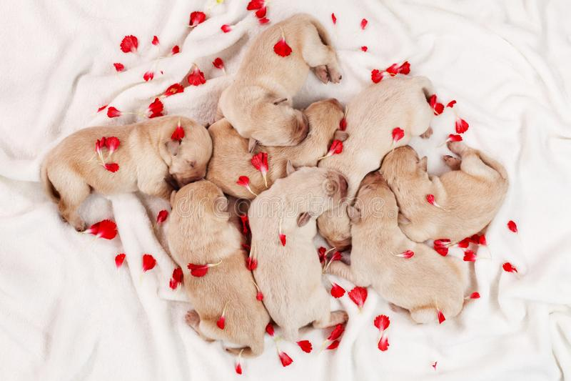 睡觉在堆的可爱的拉布拉多小狗,在花pe中 免版税库存照片