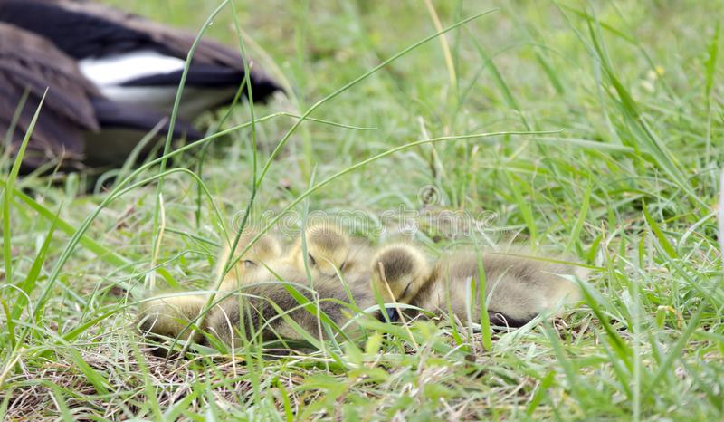 睡觉在堆,乔治亚,美国的加拿大鹅新出生的小鱼苗 免版税库存照片