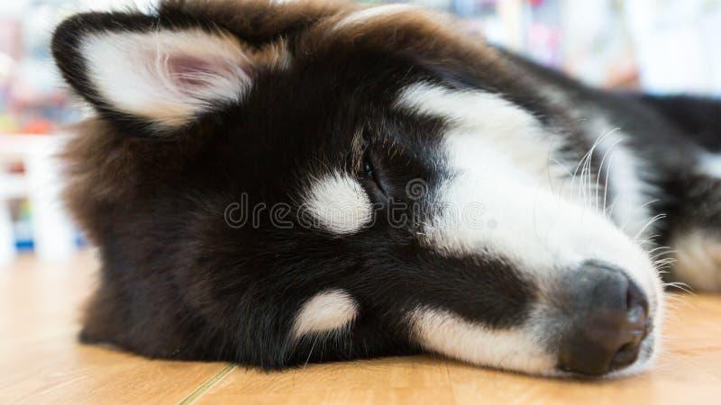 睡觉在屋子里的巨型阿拉斯加的爱斯基摩狗 免版税库存照片