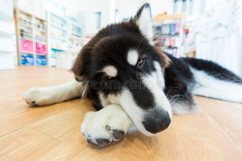 睡觉在屋子里的巨型阿拉斯加的爱斯基摩狗 免版税图库摄影