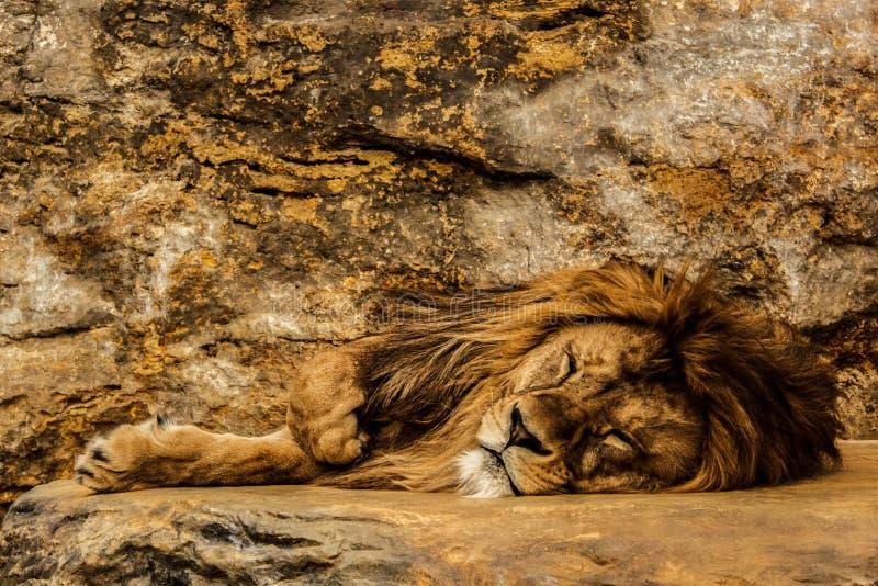 睡觉在岩石的狮子 免版税库存照片