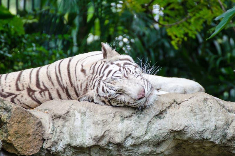 睡觉在岩石的白色老虎 免版税库存照片