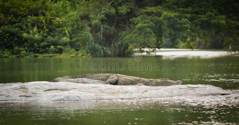 睡觉在岩石的鳄鱼在湖 图库摄影