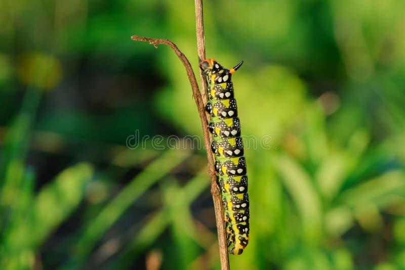 睡觉在干草在日落-特写镜头的五颜六色的毛虫 免版税图库摄影