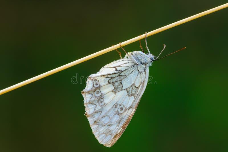 睡觉在干草特写镜头的使有大理石花纹的白色蝴蝶 免版税图库摄影