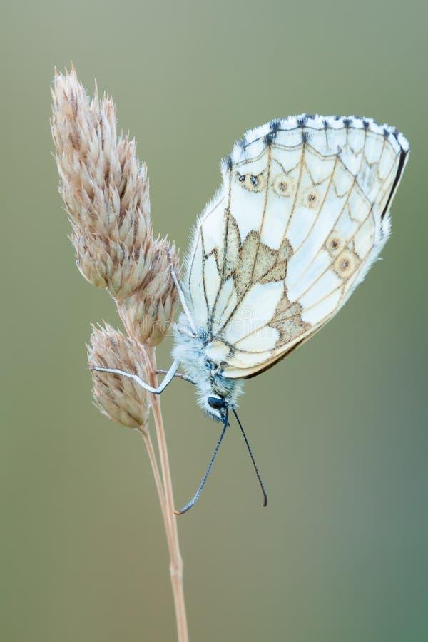 睡觉在干草特写镜头的使有大理石花纹的白色蝴蝶 免版税库存照片