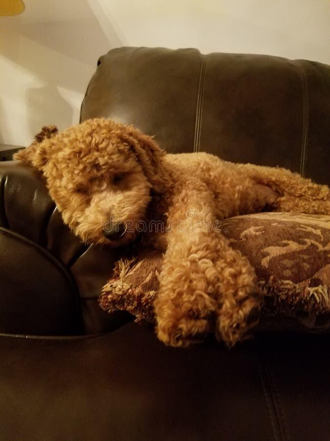 睡觉在枕头的袖珍狮子狗小狗 免版税库存照片