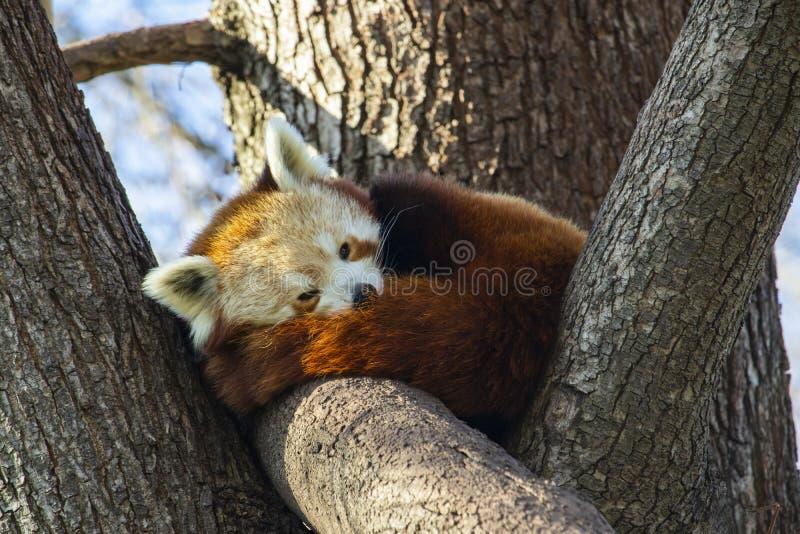 睡觉在树的红熊猫 免版税库存图片