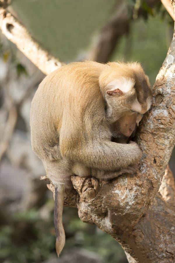 睡觉在树的猴子 免版税库存图片