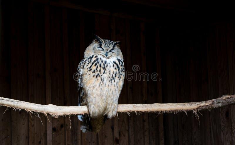 睡觉在棍子的黑暗的猫头鹰 免版税库存图片