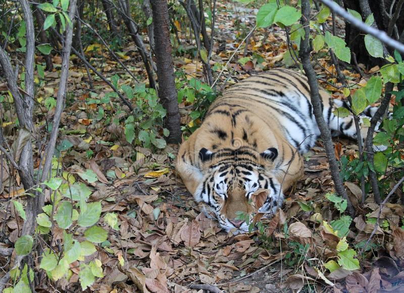睡觉在森林里的孟加拉老虎 免版税库存图片