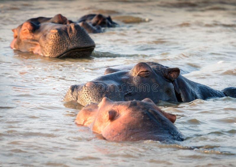 睡觉在水的河马满足的荚  圣卢西亚,南 图库摄影