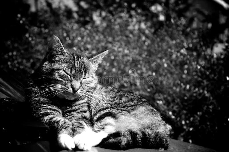 睡觉在汽车的猫 免版税库存照片
