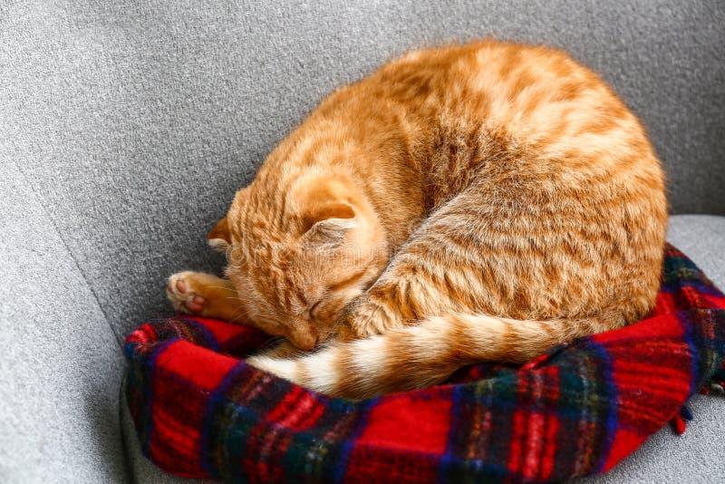 睡觉在沙发的逗人喜爱的苏格兰折叠猫 免版税图库摄影