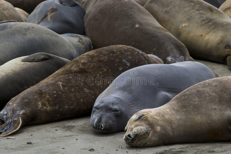 睡觉在沙滩的接近的图象的海象 免版税图库摄影