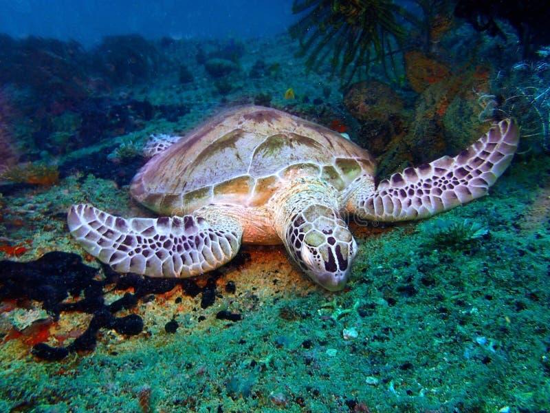 睡觉在泥地水中的玳瑁在休闲下潜期间在Mabul海岛,仙本那,斗湖 沙巴,婆罗洲 免版税库存照片