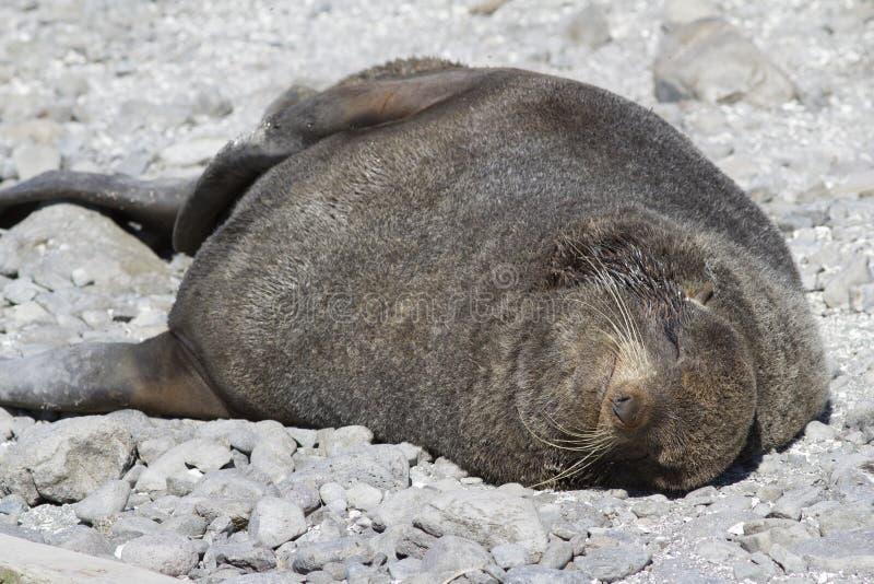 睡觉在海滩的北海狗睡觉的男性在t附近 库存照片